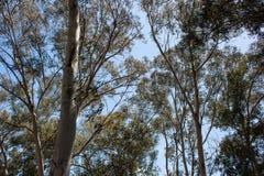 Árboles de Eucaliptus Imágenes de archivo libres de regalías
