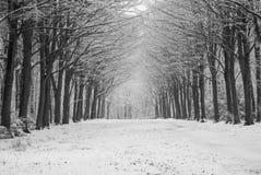 Árboles de Felbrigg en nieve Fotos de archivo libres de regalías