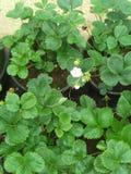 Árboles de fresa cosméticos con la flor en Nuwere Eliye imágenes de archivo libres de regalías