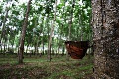 Árboles de goma Foto de archivo