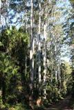 Árboles de goma blancos australianos Foto de archivo libre de regalías