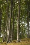 Árboles de haya Fotografía de archivo