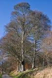 Árboles de haya altos desnudos en invierno Fotos de archivo libres de regalías