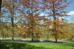 Árboles de haya de cobre en el campo inglés Fotografía de archivo