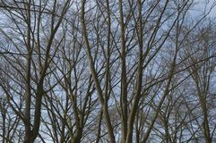 Árboles de haya deshojados Fotos de archivo