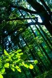 Árboles de haya en bosque Imagen de archivo libre de regalías