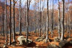 Árboles de haya y hojas de otoño Imagen de archivo libre de regalías