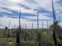 Árboles de hierba en la flor, Australia occidental Foto de archivo libre de regalías