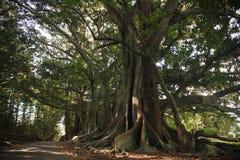 Árboles de higo de la bahía de Moreton Imágenes de archivo libres de regalías