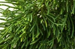 Árboles de hoja perenne Fotos de archivo