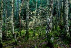 Árboles de hoja perenne cubiertos de musgo con un remiendo del sol que muestra colores sutiles de la caída fotografía de archivo libre de regalías