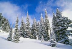 Árboles de hoja perenne cubiertos en nieve Imagen de archivo libre de regalías