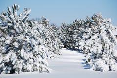 Árboles de hoja perenne del invierno Fotografía de archivo