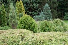 Árboles de hoja perenne en el jardín Imagen de archivo libre de regalías
