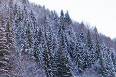 Árboles de hoja perenne en invierno Foto de archivo