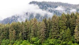Árboles de hoja perenne en la niebla Imagen de archivo libre de regalías