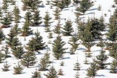 Árboles de hoja perenne en la nieve Berkshires mA Imagen de archivo libre de regalías