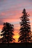 Árboles de hoja perenne de la silueta de la puesta del sol, Brandon, Manitoba imagenes de archivo