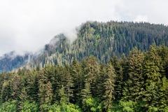 Árboles de hoja perenne majestuosos altos Fotos de archivo libres de regalías