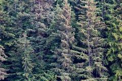 Árboles de hoja perenne masivos en Alaska Fotos de archivo libres de regalías