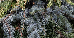 Árboles de hoja perenne mezclados del arreglo para el cedro de la Navidad Imagen de archivo libre de regalías