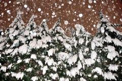 Árboles de hoja perenne Nevado Imágenes de archivo libres de regalías