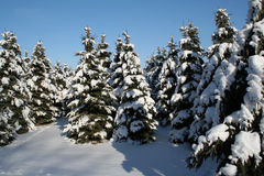 Árboles de hoja perenne Nevado Imagenes de archivo