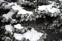 Árboles de hoja perenne nevados Imágenes de archivo libres de regalías