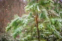 Árboles de hoja perenne rurales cubiertos en nieve ligera Fotos de archivo libres de regalías