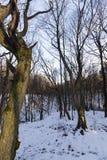Árboles de hojas caducas en invierno Imagen de archivo libre de regalías
