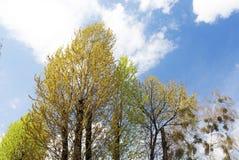 Árboles de hojas caducas en primavera Foto de archivo libre de regalías