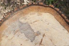 Árboles de hojas caducas frescos del corte con los anillos de crecimiento, textura, muestras fotos de archivo libres de regalías