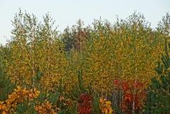 Árboles de hojas caducas y pinos brillantes en el bosque del otoño Fotos de archivo libres de regalías