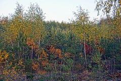 Árboles de hojas caducas y pinos brillantes en el bosque del otoño Foto de archivo libre de regalías