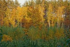 Árboles de hojas caducas y pinos brillantes en el bosque del otoño Imagen de archivo
