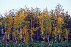 Árboles de hojas caducas y pinos brillantes en el bosque del otoño Fotografía de archivo libre de regalías