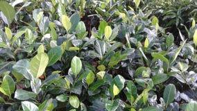 Árboles de Jackfruit para plantar Imágenes de archivo libres de regalías
