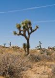 Árboles de Joshua Fotografía de archivo libre de regalías