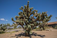 Árboles de Joshua en Arizona imagen de archivo