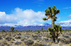 Árboles de Joshua en Nevada Imagen de archivo
