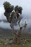 Árboles de Kilimanjari del Senecio Imagen de archivo