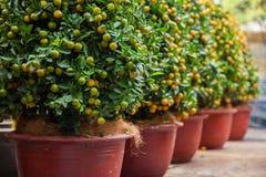Árboles de kumquat de Tet los símbolos de los días de fiesta lunares del Año Nuevo Foto de archivo