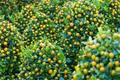 Árboles de kumquat para Tet (Año Nuevo vietnamita) Imágenes de archivo libres de regalías