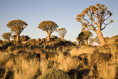 Árboles de la aljaba Foto de archivo