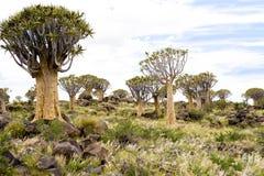 Árboles de la aljaba en Namibia Fotografía de archivo libre de regalías