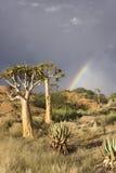 Árboles de la aljaba en una colina en Suráfrica Imagenes de archivo