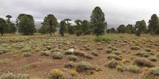 Árboles de la araucaria (araucana de la araucaria) en el parque nacional de Lanin Foto de archivo libre de regalías