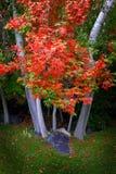 Árboles de la caída con las hojas de oro en hierba verde del parque Fotos de archivo libres de regalías