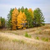 Árboles de la conífera del otoño fotos de archivo libres de regalías