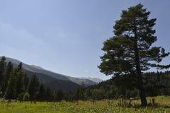 Árboles de la conífera en las montañas Imagenes de archivo